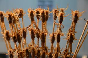 Skorpione zum Essen