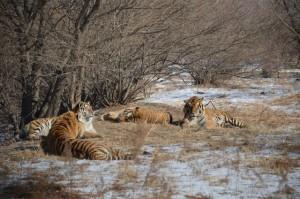 Tiger Park 01