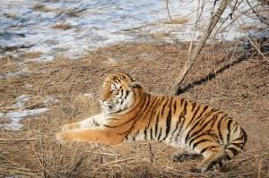 Tiger Park 02