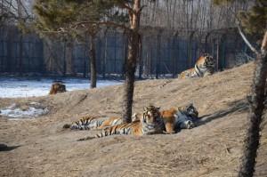 Tiger Park 03
