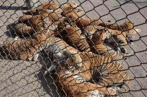 Tiger Park 04