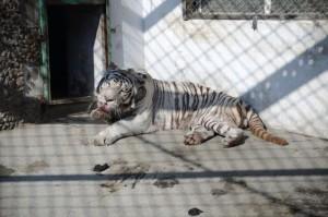 Tiger Park 05